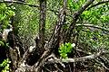 Lumnitzera racemosa - Kung Krabaen, Chantaburi province, Thailand.jpg