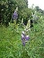 Lupinus bogotensis.jpg