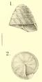 Lutilodix imitratrix Sykes 1900.png