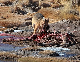 Culpeo - A culpeo feasting on carrion of vicuña at El Tatio, San Pedro de Atacama, Antofagasta Region, Chile