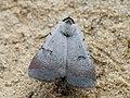 Lygephila craccae - Scarce blackneck (40824266992).jpg