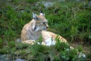 Lynx in the Numedal Zoo