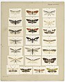 MA I437899 TePapa Plate-XXXVIII-The-butterflies full.jpg