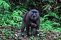 Macaca Maura Satwa Endemik Sulawesi Selatan 03.jpg