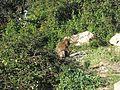 Macaque berbère à Ziama Mansouriah 22 (Algérie).jpg