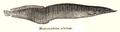 Macrognathus zebrinus Day.png
