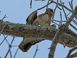 Madagascar buzzard - Image: Madagascar Buzzard RWD2