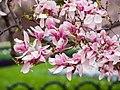 Magnolia in Smithsonian Gardens in April (17427310040).jpg