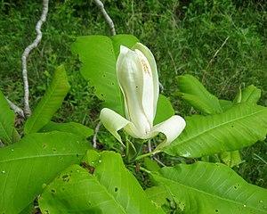 Magnolia tripetala - Image: Magnolia tripetala flower