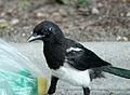 Magpie in Madrid (Spain) 122.jpg