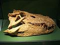 Mahajangasuchus insignis.jpg