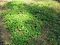 Maianthemum bifolium 5810.jpg