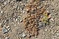 Maihuenopsis ovata (30573868536).jpg