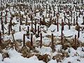Maisstoppelveld in de sneeuw.JPG