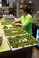 Making kale chips in Lockport, Illinois.jpg