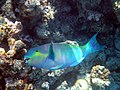 Maldives Parrotfish (Scaridae).jpg