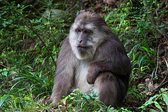 Male Tibetan Macaque.jpg