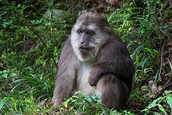 Male Tibetan Macaque.jpg