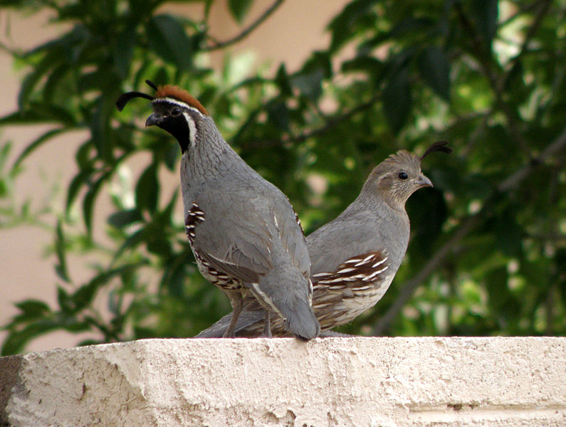 File:Male and Female Gambel's Quail in Mesa, Arizona.jpg