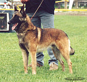 The Malinois variant
