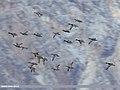 Mallard (Anas platyrhynchos), Gadwall (Anas strepera) & Red-crested Pochard (Netta rufina) (38424784366).jpg