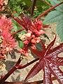 Malpighiales - Ricinus communis - 4.jpg