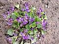 Malpighiales - Viola reichenbachiana - 3.jpg