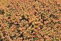 Malta - Mgarr - Ghain Tuffieha - Il-Karraba - Euphorbia dendroides 02 ies.jpg
