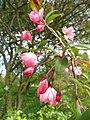 Malus hupehensis - Copenhagen Botanical Garden - DSC07649.JPG