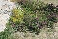 Malva sylvestris subsp. sylvestris-3.jpg