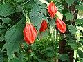 Malvaviscus arboreus02.JPG