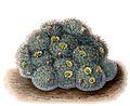 Mammillaria bocasana BlKakteenT35.jpg