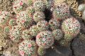 Mammillaria tolimensis pm.jpg