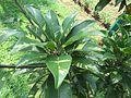 Manilkara zapota (Naseberry) leaves in RDA, Bogra 02.jpg