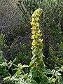 Manulea caledonica De Hoop 01.jpg