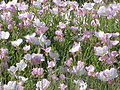 Many small pink flowers.JPG