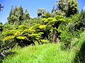 Mapara Forest, North Island (8604874615).jpg