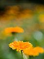 Marigold (14684087620).jpg