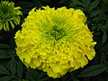 Marigold at Lalbagh Flower show August 20124743.JPG