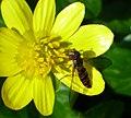 Marmalade fly (33399432626).jpg