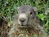 Marmotte 2014 2015 (7).JPG