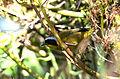 Mascarita Común, Common Yellowthroat, Geothlypis trichas (12510086973).jpg