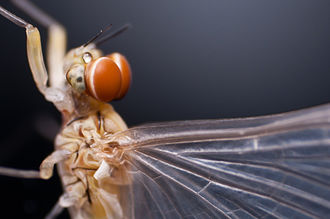 Arthropod eye - In some male mayflies the eyes are split into separate organs for distinct visual functions
