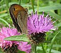 Meadow Brown butterfly on Knapweed - geograph.org.uk - 909884.jpg