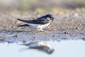 Common house martin - Collecting mud