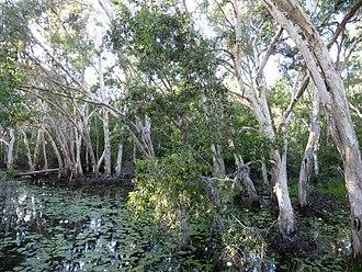 Melaleuca leucadendra - M. leucadendra in Keatings Lagoon near Cooktown.
