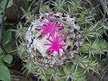 Melocactus curvispinus curvispinus (3).jpg