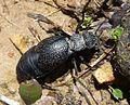 Meloe tuccius. Oil beetle. Meloidae - Flickr - gailhampshire.jpg