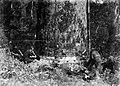 Men sawing at base of Kauri tree (AM 82306-1).jpg