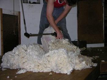 Merino shearing